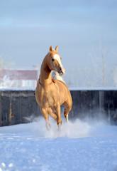 akhal-teke palomino horse