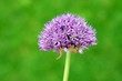 Purple Allium flower