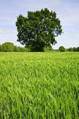 Beautiful Spring Summer image of windy corn field