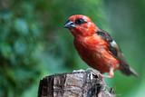 oiseau cardinal, Foudi rouge, Foudia madagascariensis poster