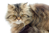 Female crossbreed of siberian and persian cat.