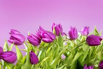tulips pink flowers pink studio shot