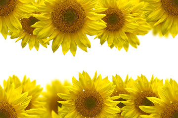 sunflower for background