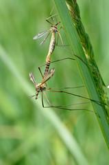 Accouplement de profil de deux Tipules sur une herbe