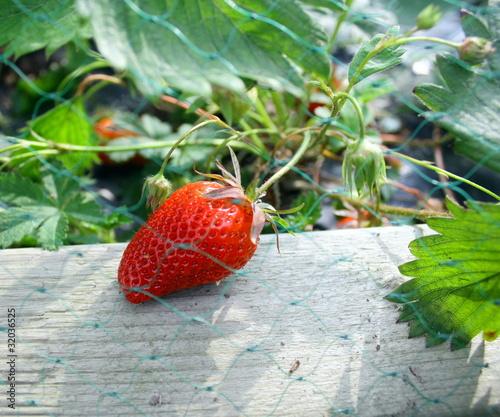 Fraisier au jardin sous filet de protection de patryssia photo libre de droi - Quel fraisier choisir ...