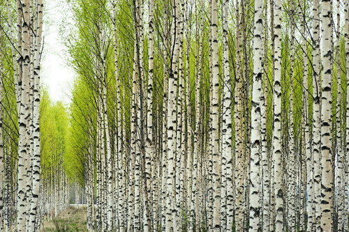 Deurstickers Berkbosje Birch trees in spring