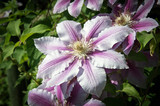 climbing clematis flower in bloom