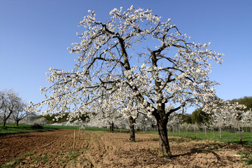 Blossoming cherry trees
