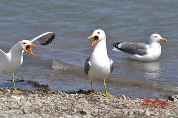 Seagulls Arguing Over Fish Eggs