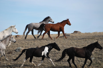 Horses Running on the Great Plains of Montana