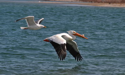 Pelican Seagull Flying
