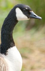 blacked necked goose profile