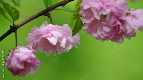 "Prunus triloba ""Multiplex"" in bloom"
