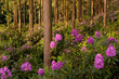 Flowering rhododendrons, Dorset, UK
