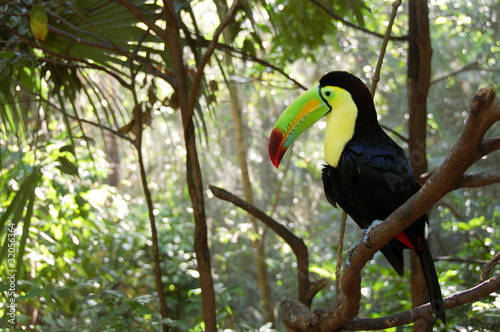 Deurstickers Toekan Toucan perched in a tree in the forest.
