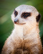 Cute and watchful meercat