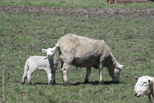 Sheep (Ewe and Lamb)