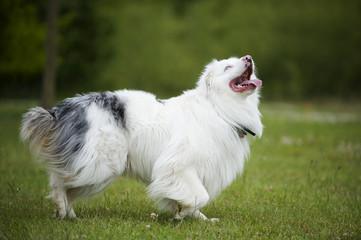 Ungarischer Hirtenhund