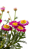 studio shot of a marguerite isolated on white