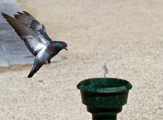 piccione e fontanella
