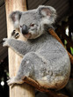 Koala sits on a brunch and hugs a tree trunk