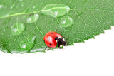 alive ladybug on a leaf with water drops poster