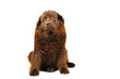 Newfoundland dog in studio on the white background