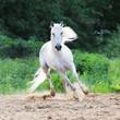 white horse runs on the sand