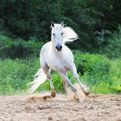 white horse runs on the sand