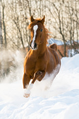 red arabian stallion runs gallop in the snow