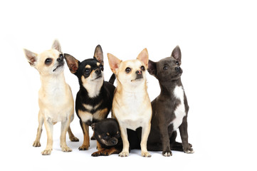 A group of chihuahuas in studio