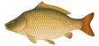 "Common Carp (Cyprinus carpio) ""Full compatible gradients."""