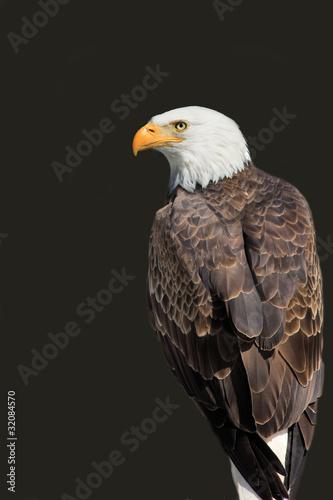 American Eagle - Haliaeetus leucocephalus