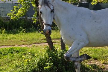 cavallo in posa
