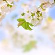Traumhafte Kirschblüten