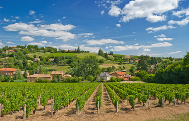 Vineyard in Beaujolais region, France