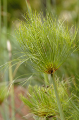 Cyperus papyrus plant of Egypt for paper