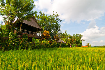 Rice field of Ubud, Bali