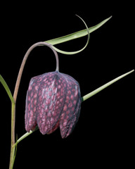 Fritillaria meleagris flower isolated on black