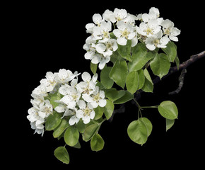 Flowers of pear-tree isolated on black