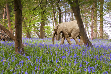 Young elephant calf walking through bluebell woods