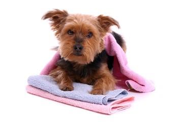 liegender Hund Yorkshire Terrier freut sich auf Wellnessbad