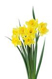 Daffodile Bundle