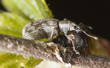 Weevil sitting on birch stem