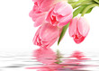 Pink tulips with water reflection and copy space