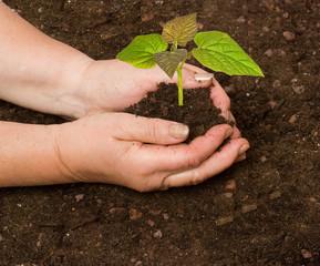 Planting a  paulownia sapling