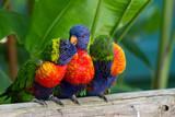 Fototapety Perroquets multicolores, loris de swanson, Guadeloupe