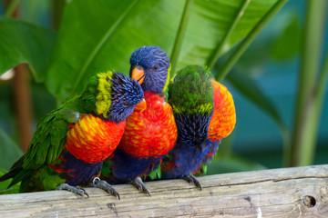 Perroquets multicolores, loris de swanson, Guadeloupe © Sébastien Closs