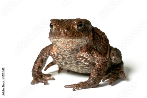 Small common toad on white background facing the photographer