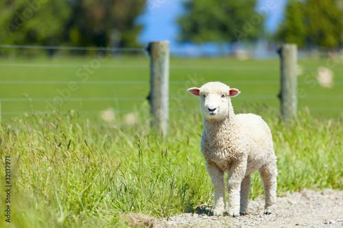 Spoed canvasdoek 2cm dik Schapen Baby lamb